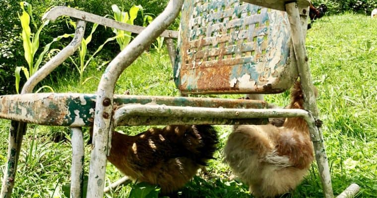 Backyard Chickens – Everything You Need to Know